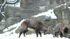 Alpine ibex or steinbock (Capra ibex), fighting during breeding season. - stock footage