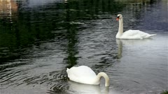 Two swans Stock Footage