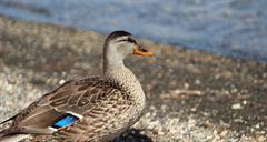 Feemale mallard duck Stock Photos