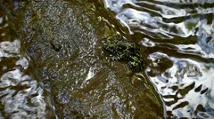 RARE species of frog (Mantidactylus lugubris) near a stream in Madagascar. Stock Footage