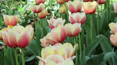 flowers, colorful tulips reeling from side to side - stock footage