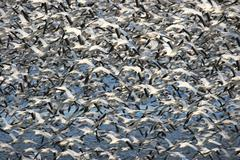 snow geese in flight - stock photo