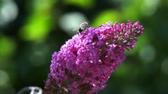 Bee on a pink flower #1 Stock Footage