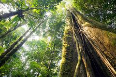 Looking up the trunk of a giant rainforest tree to the canopy, ecuador Stock Photos