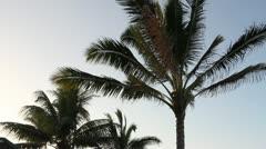 Hawaiian Plam Tree at Dusk Stock Footage