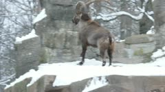 The dance of the Alpine ibex or steinbock (Capra ibex). Stock Footage