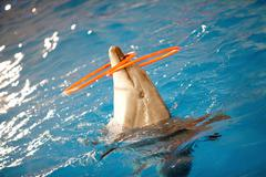 Close-up of playful dolphin in water with two plastic hoops on nose Stock Photos