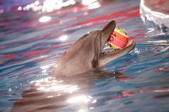 Lähikuva delfiini tilalla pallo suussa Kuvituskuvat