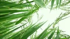 Rice Field, Jusmine Rice Stock Footage