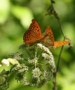 Two butterflies playing flower Stock Photos