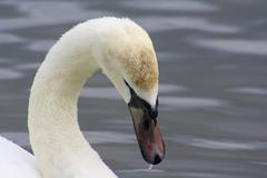 White swan upclose in a lake Stock Photos