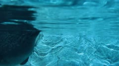 Sea lion swims by in captivity Stock Footage