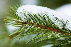 close-up of green pine branch with melting snow on it - stock photo