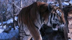 Tiger in Captivity in Winter Stock Footage
