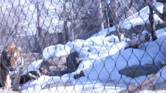 Amur Tiger in snowy cage Stock Footage