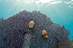 flamingo tongue gastropod - stock photo