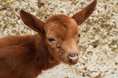 baby goat - stock photo