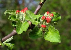 Red buds on apple-tree Stock Photos