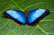Stock Photo of Blue Morpho Butterfly