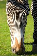 Head of grazing zebra Stock Photos