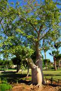 Bottle trees adenium obesum socotra Stock Photos