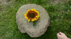 put sunflower, wheat ears and corn cobs on millstone - stock footage