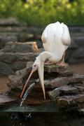 Pelican catching stream of water Stock Photos