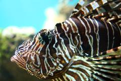 lionfish close-up underwater in tropical aquarium - stock photo