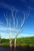 dry bare tree in water - stock photo