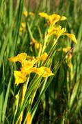 Blossom irises Stock Photos