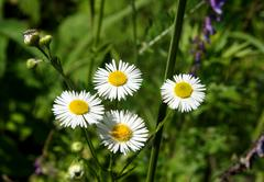four camomiles with narrow petals - stock photo