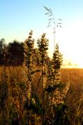 stems of grass and sunrise - stock photo