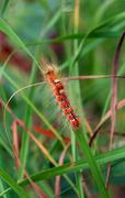 red hairy caterpillar - stock photo