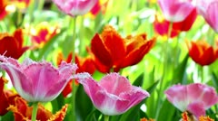 Tulips, spring, The Netherlands Stock Footage