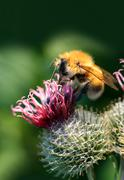bumble-bee on thistle flower - stock photo