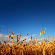 stems of wheat in sunset light - stock photo