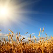 stems of wheat in sun light - stock photo