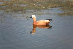roody shelduck - stock photo