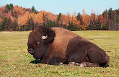 Biisoni tunnetaan myös nimellä american buffalo makuulla coloful syyspäivänä Kuvituskuvat