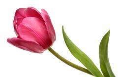 Red blossom tulip close-up Stock Photos