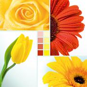Collage of yellow tulip, rose and two herberas Stock Photos
