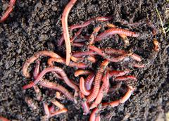 red worms in compost - stock photo