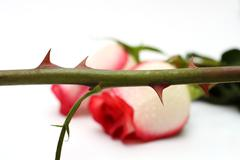 Thorns and roses concept Stock Photos