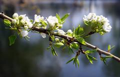 blossom apple-tree branch - stock photo