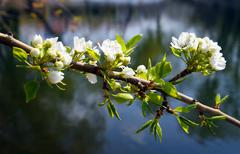 Blossom apple-tree branch Stock Photos