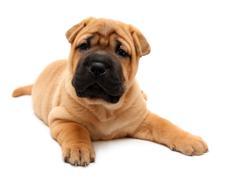shar pei puppy - stock photo
