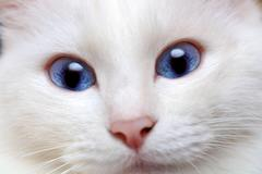 White cat with blue eyes Stock Photos
