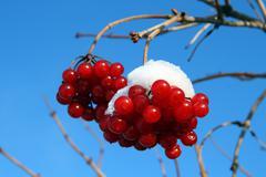 Snowball tree berryes under snow Stock Photos