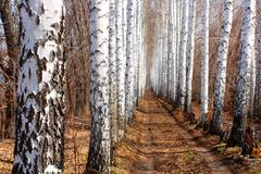 road in spring birch alley - stock photo