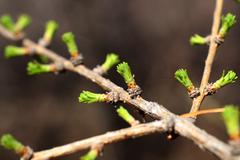 Branch of larch with blooming buds Stock Photos